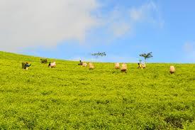 Tea Estate workers plucking tea in Mulanje